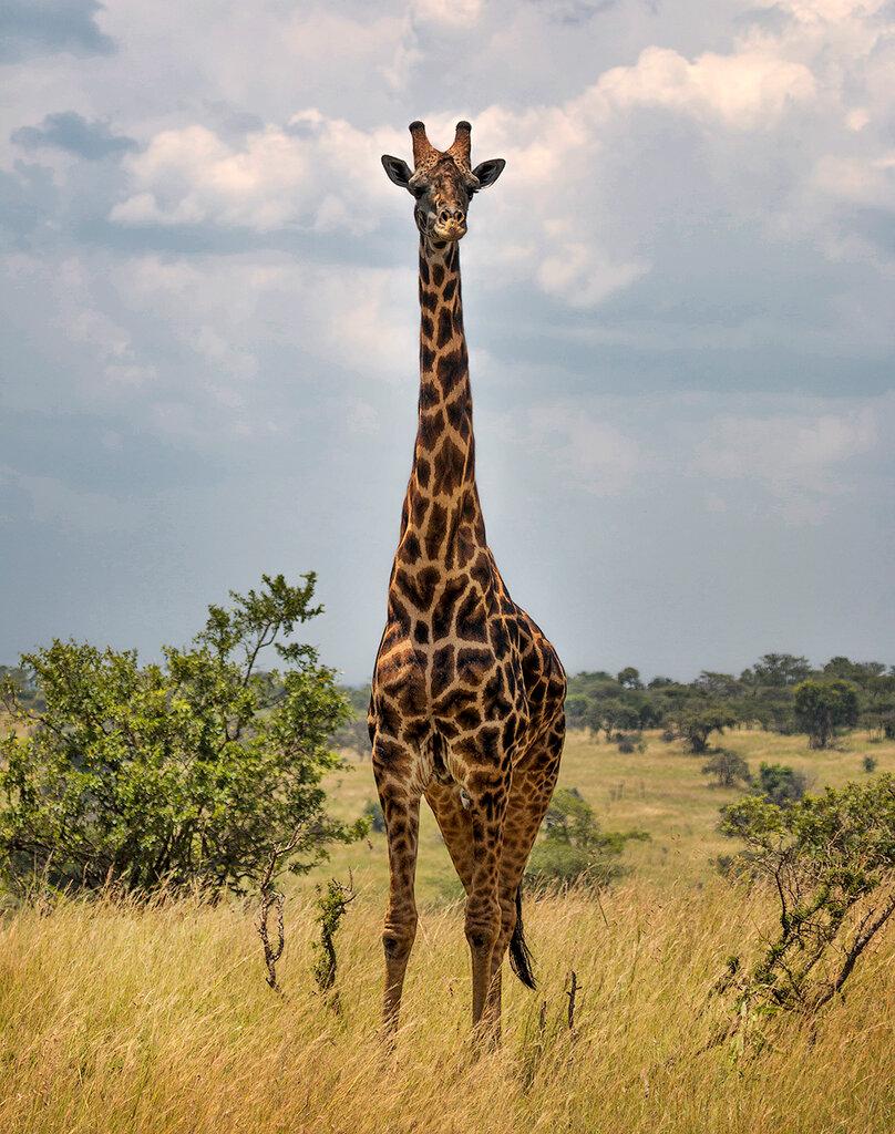 что жираф картинка картинка буду чувствовать себя